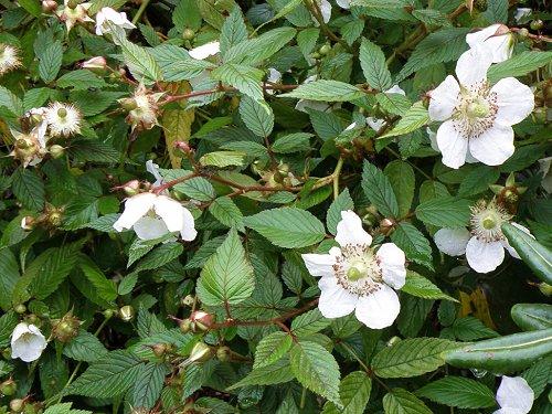 おおばらいちご Rubus croceacan...