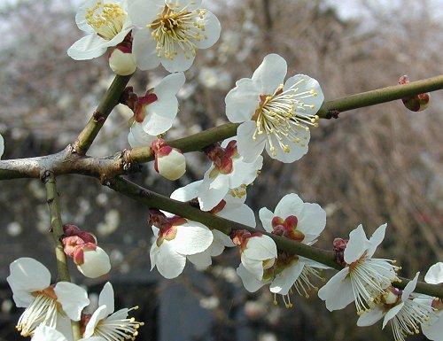 うめ Prunus mume