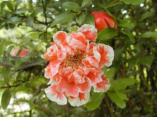 ざくろ (石榴、花石榴) pomegranate, Punica 【ざくろ科ざくろ属】分布地 イラン、アフガン他小アジア